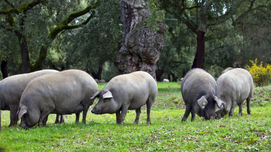 Campaña del cerdo ibérico de bellota 2016-2017