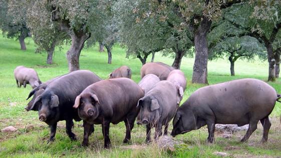 El consumo de carne de cerdo aporta numerosos beneficios